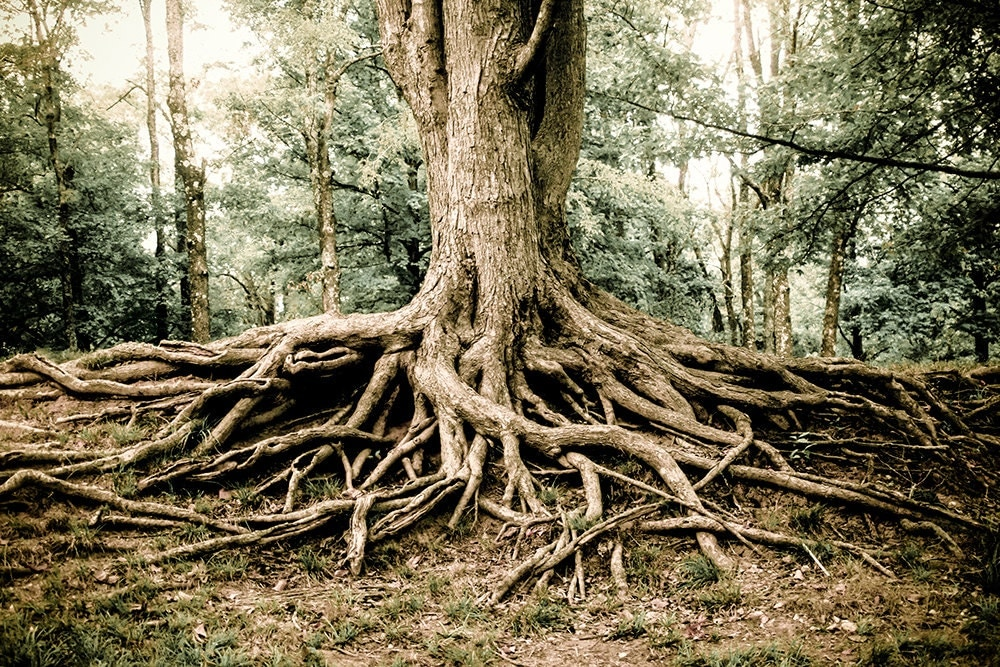 Woodland Tree Roots Photography Fine Art Print Tree Roots