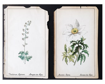 Antique Botanical Specimen Plates - 1800's, alpine flowers
