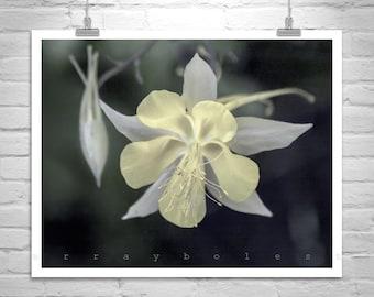 Columbine Flower, Elegant Art, Wildflower Photo, Floral Art, Nature Photography, Pale Yellow, Fine Art Photography, Art for Home