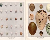 American Birds Eggs Vintage Book Plate Illustrations - Identified on Back