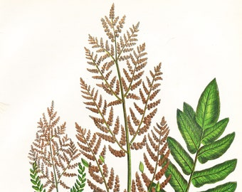 Flowering Fern . Osmunda regalis .  Antique Print . Original Botanical Plant Chromolithograph Circa 1860