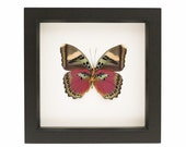 Preserved Butterfly Display Pink Forester Euphaedra xypete