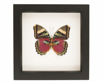 Mounted Butterfly Frame Pink Forester Euphaedra xypete
