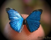 "Blue Morpho, Miniature Butterfly, Morpho Menelaus, Dollhouse Scale, 1:12, 1/2"" Wingspan, 13 mm, Micro, GFF"
