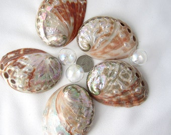 "Beach Decor Red Polished Abalone Seashell - Nautical Colorful Red Abalone Shell, 3.5-4"", 1PC"