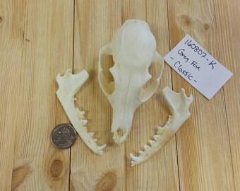 Grey Fox Kit Skull - Urocyon cinereoargenteus -Project Skull-  Lot No. 160807-K