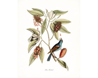 Catesby Vintage Bird Print,  Giclee Print, Blue Fleabeck