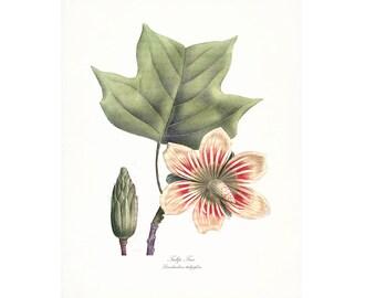 Vintage Tulip Tree Illustration - Traditional Botanical Natural History Giclee Art Print