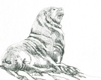 Original Pencil Sketch of a Seal - 4 x 6 Art for Sale