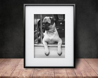 Joyriding Pug - Reproduction of a Vintage Photograph