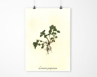 Purple Deadnettle Herbarium