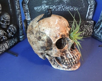 Air plant growing from eye orbit of skull ornament with tiny raven.