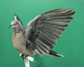 Spotted Turtle Dove Real Bird Taxidermy Mount Wings Up