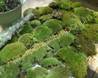 Live Moss MIx/ Lichens Variety Assortment for Terrarium Kit Bonsai Combo Fairy Garden Crafts