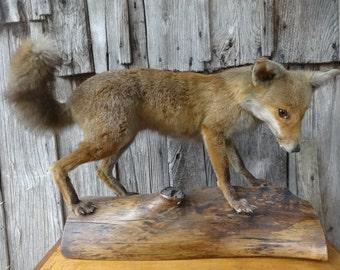 Vintage French Large Red Fox Taxidermy Statue Figurine circa 1960's / English Shop