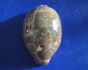 "Sea Shell Seashells 2.6"" Cypraea Mappa Shell"