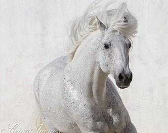 The White Stallion Runs Up II - Fine Art Horse Photograph - Horse - Lusitano - Fine Art Print
