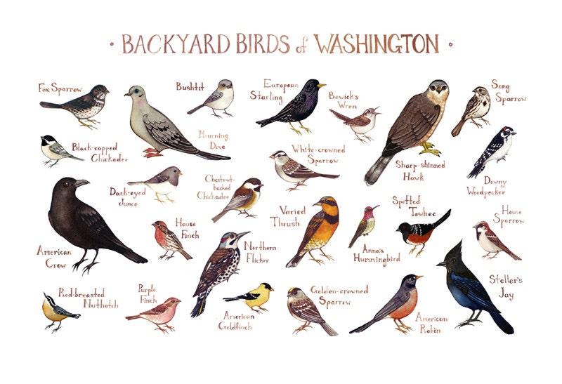 Washington Backyard Birds Field Guide Art Print / Watercolor