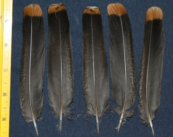 5 Alaska Spruce Grouse Tail Feathers