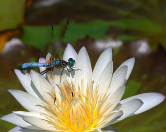 Dragonfly resting on a white water lily Printable Digital Download Fine Art Nature Photograph Home Decor