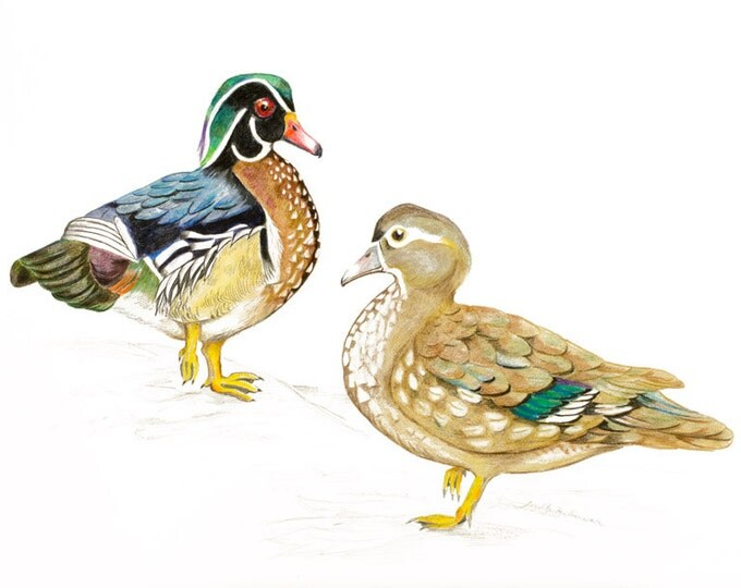 ORIGINAL ART, A highly detailed drawing of Wonderful Wood Ducks, Carolina ducks, Aix sponsa, Woodducks by Paula Kuitenbrouwer. Bird Art.