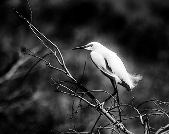 Snowy Egret Photo, Everglades Florida, Bird photography, Nature Photo, Black and White - 8x10 fine art photograph