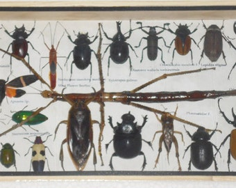 REAL Multiple INSECTS BEETLES Cicada Collection in wooden box/is08A1