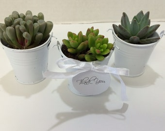 Succulent Plants - 50 Assorted  Succulent Plants in 2 inch pots, with Miniature White Pails, Ribbons and Thank You Tags.