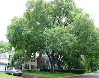American Elm Tree Seeds, Ulmus americana - 25 Seeds