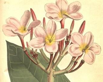 Flower print art, Antique print, Botanical, Vintage poster, Nature print, Nature decor, 279