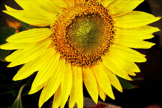 Yellow Sunflower. Macro Nature Photography. Fine Art Print. Unmatted, unframed Wall Decor. Wall Art.