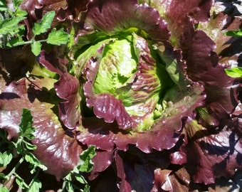 SALE Red Iceburg lettuce seeds, spring lettuce organic seed, mescalin seeds heirloom seed rare seeds salad bowl fall harvest salad greens