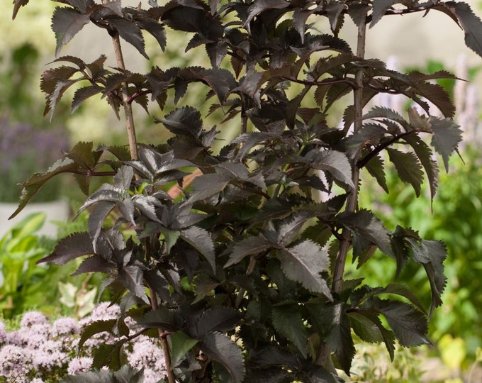 Sambucus Black Tower Shrub Hardy Black Foliage Pink Flowers  Grown Organic Potted In 4 Inch Container