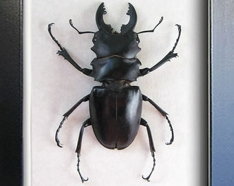 Real Stag Beetle Odontolabis Alces Museum Quality In Display