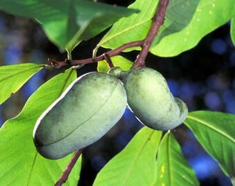 Pawpaw  Seed(Asimina triloba)  Indiana Banana ,Fruit Tree Shrub-Perennial !