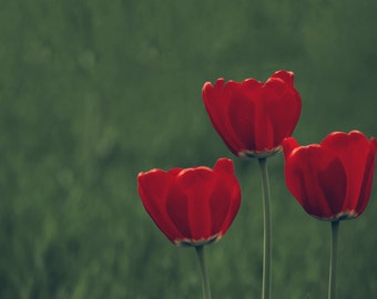 Nature photography, tulip photography, red tulips