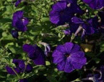 Petunias- Alderman- 100 seeds each pack