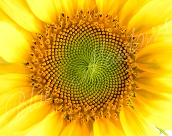 Sunflower, Bright Yellow Sunflower, Flower, Yellow flower, Spring Time, Floral