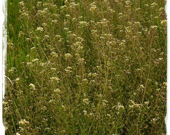 Capsella bursa-pastoris 'Shepherd's Purse' [Ex. Somerset] 1000+ SEEDS