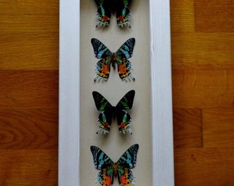 Real 4 Beautiful Urania Ripheus (Sunset Moth) Framed - Taxidermy - Home Decoration - Collectibles