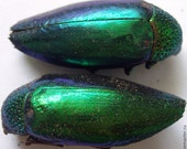 Insect Supplies | Sternocera ruficornis BUPRESTIDAE  | Jewel Beetle Set | Insect Art | Entomology