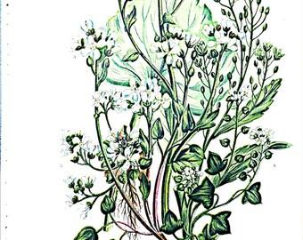 Anne Pratt Antique 1860 Botanical print, Plate 17 Scury Grasses, Flowering Plants