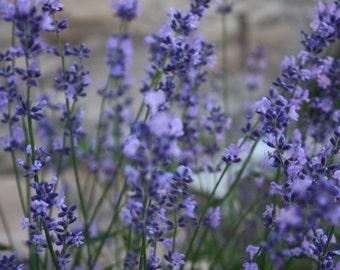 English Lavender Seeds, Non-GMO Herb Seeds, Lavender Seeds