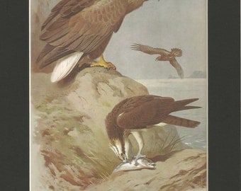 1970   sea eagle and osprey  print by thorburn. antique print vintage wall decor