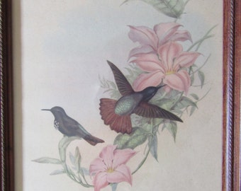 John Gould Lithograph Aglaeactis Pamela