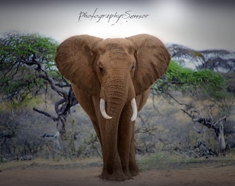 The patriarch Photography, Elephant, African Bush, Photo Nature, Fine Art Print, Nature collection, Photo Travel, Home Nursery