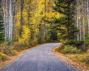 Fine Art Photo Print, Autumn Fall Colors, AspenTrees, Road, Jasper National Park, Alberta Canada, Panoramic Landscape Nature Photography