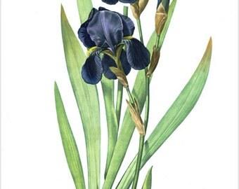 Vintage Botanical Poster Iris Germanica Flower Vibrant Purple 24x36 Unique