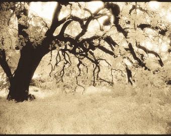 Malibu Canyon Oak