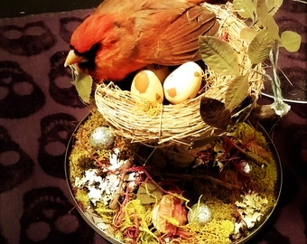 taxidermy  male cardinal and eggs in a nest